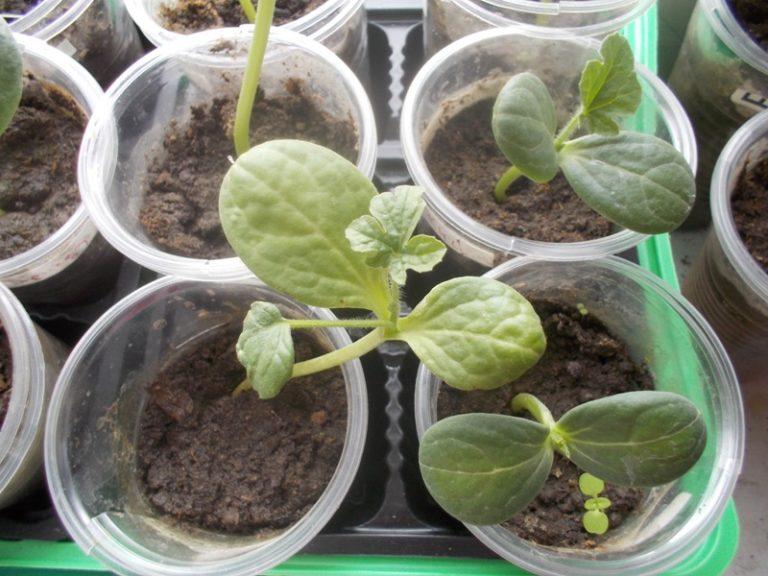 Чтобы получить крепкую, здоровую рассаду, семена высевают во второй половине апреля