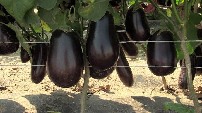 Для того чтобы из капризной баклажанной культуры получилась крепкая рассада, способная дать хорошую урожайность, ее следует не только своевременно, но и правильно посеять