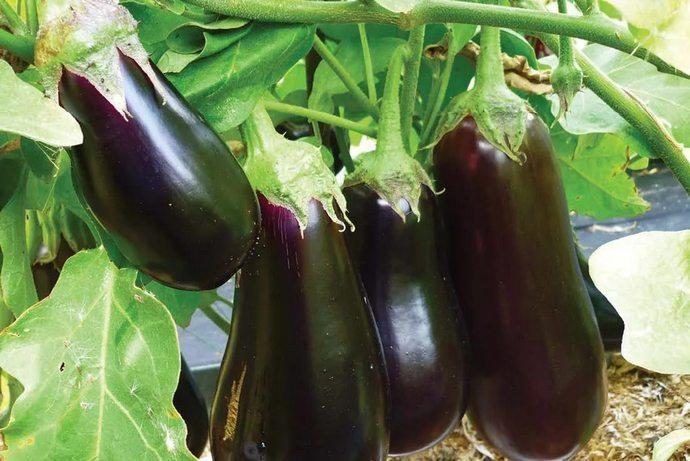 Баклажаны для выращивания на Урале следует подбирать ранних или гибридных сортов