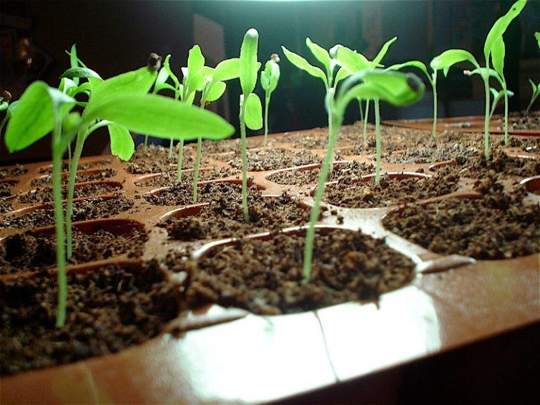 Выращивание баклажанов в открытом грунте начинается с посадки семян