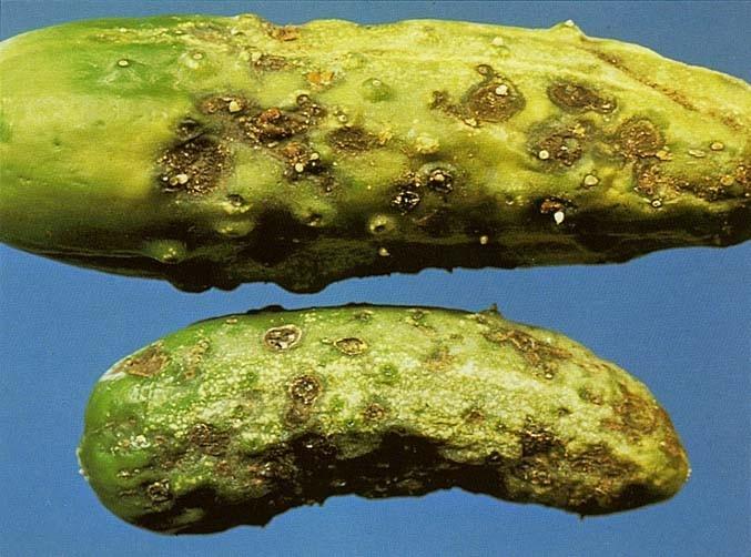 У огурцов в теплице иногда можно обнаружить белый налет или пятна, это может быть признаком сразу нескольких болезней