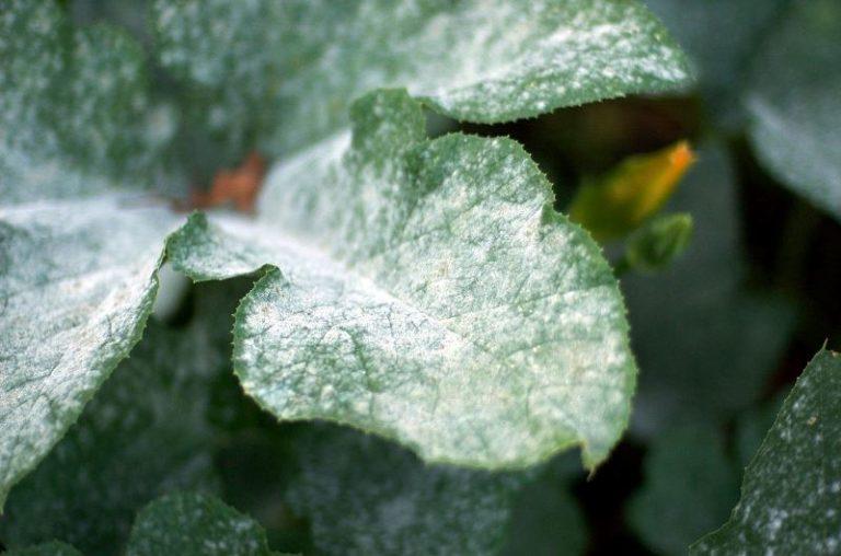 Роса довольно быстро распространяется по всему растению, листья высыхают и опадают