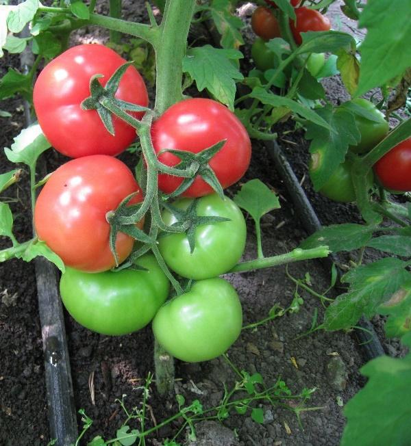 На одном кусте может быть 5-6 ветвей с помидорами