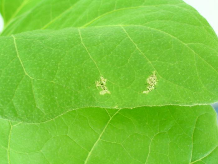 Белая пятнистость листьев у томатов в теплице объясняется просто: созданные условия неидеальны