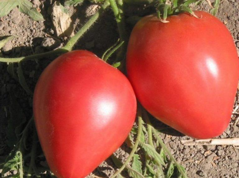 """Сорт томата"""" Большая мамочка"""" рекомендован для выращивания на всей территории России"""