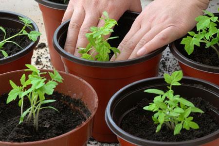 Благоприятные дни для томатов в апреле помогут определить, когда же стоит производить высадку растений
