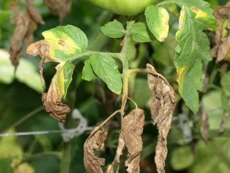 Болезни томатов и их устранение