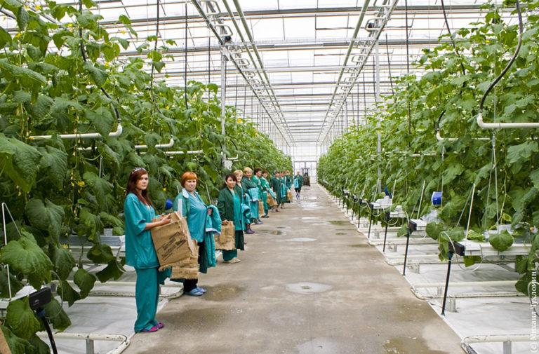 Бизнес план выращивание огурцы 47