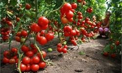 Применение удобрения Магбор для томатов