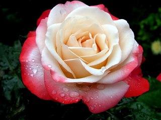 Чайно-гибридные розы - очень востребованные цветы с роскошной формой бутонов и сотнями лепестков