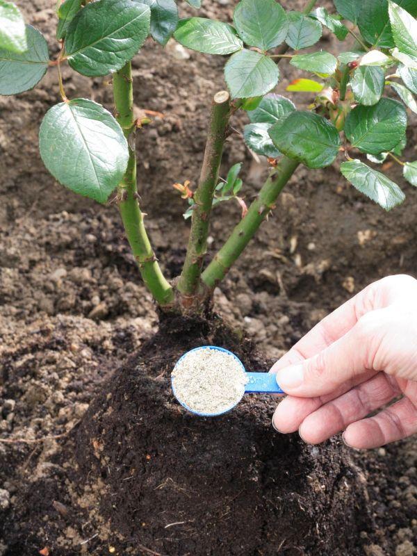 Вносить удобрение нужно 2-4 раза в месяц в зависимости от состава почвы