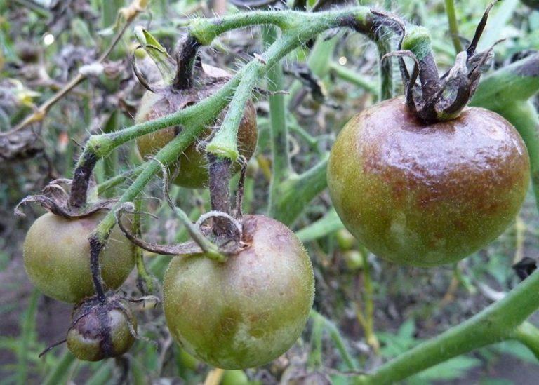 Для того чтобы не допустить развитие фитофтороза, необходимо периодически обрабатывать растения народными средствами