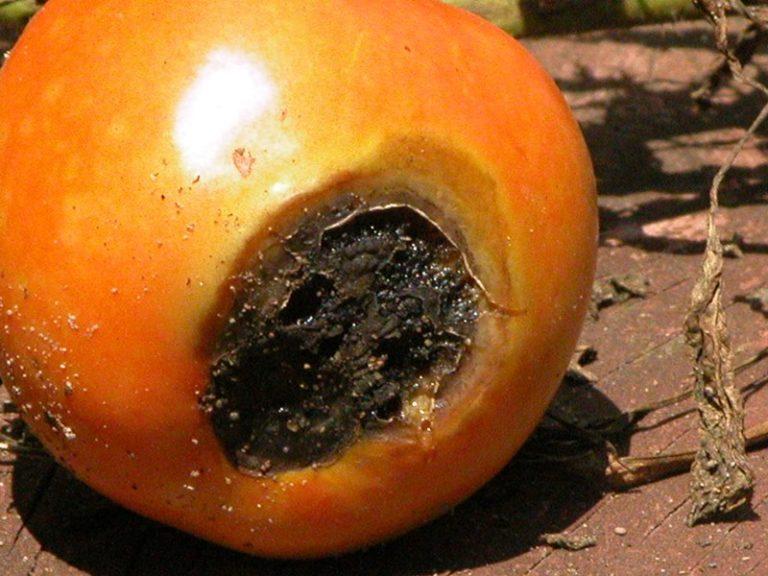 К сожалению, все старания могут перечеркнуть широко распространенные заболевания томатов, и тогда богатого урожая не видать