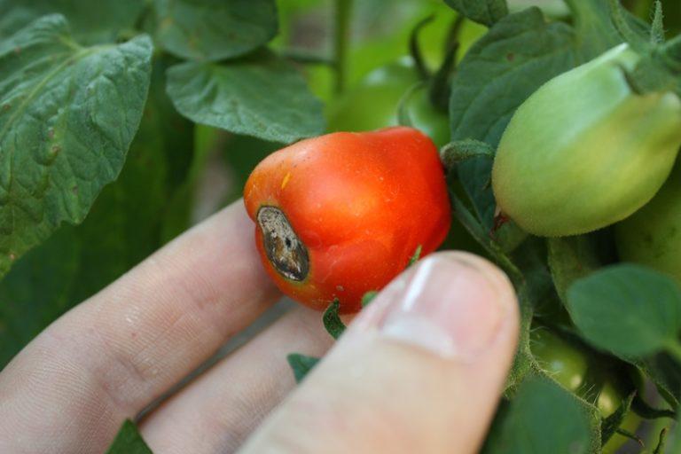 Наиболее часто встречающейся причиной, по которой чернеют помидоры, является фитофтороз