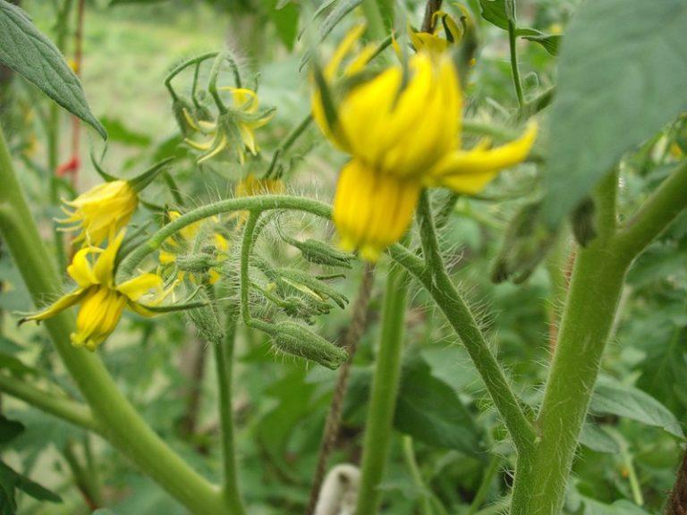 Изобильное цветение томатов сигнализирует о том, что пора подкармливать растения