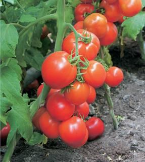 Детерминантные сорта томатов