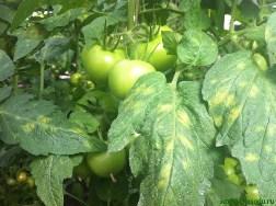 Что делать, если на листьях томатов появились серые пятна
