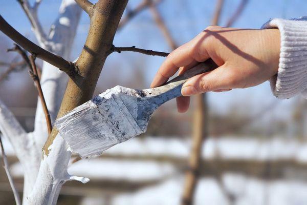 В середине января можно осуществить побелку деревьев для защиты от температурных перепадов