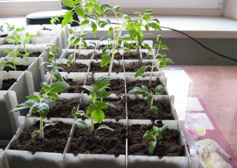 Перед высадкой томатов опытные садоводы смотрят на небо, и интересует их фаза Луны