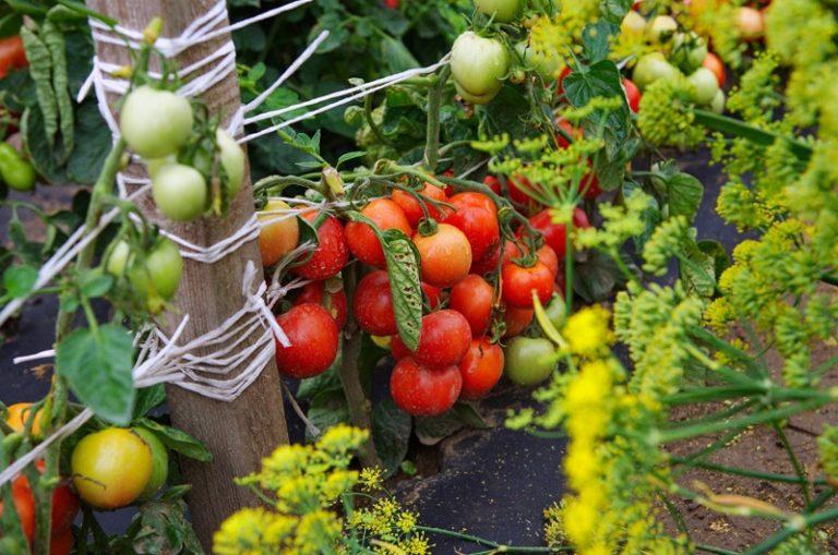 Каждый куст ежегодно дает до 5 кг томатов (при своевременном сборе)
