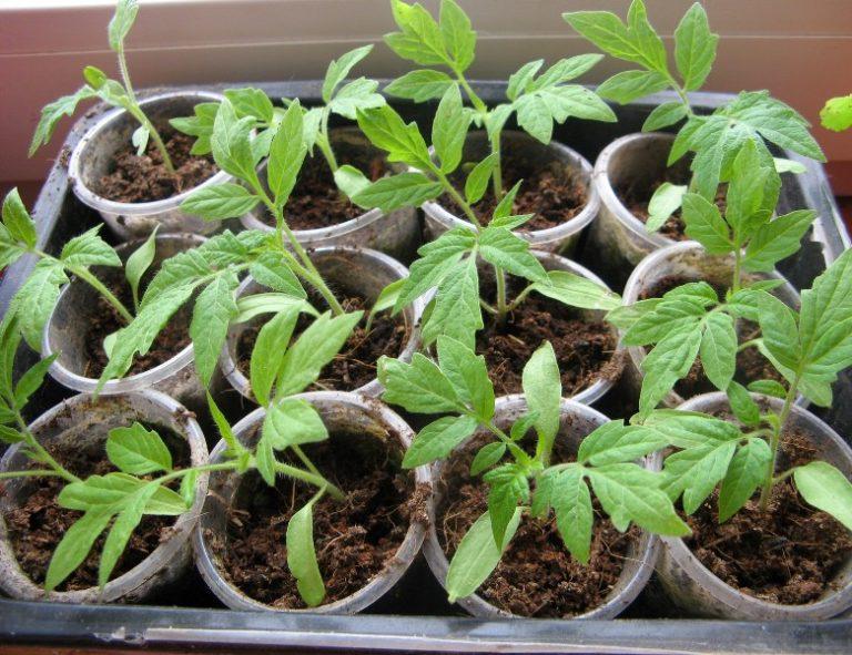 Если обращать внимание на отзывы овощеводов, которые сталкивались с данным сортом, то они указывают, что масса плодов может быть намного больше, если рассада высаживалась в тепличных условиях