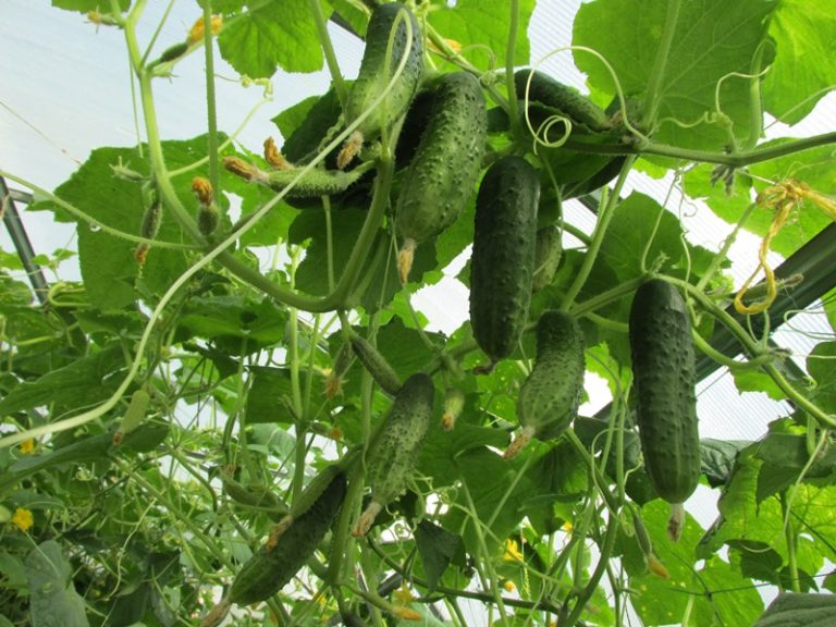 Растения начинают активно плодоносить, когда оптимальная дневная температура повышается до 22-24°С