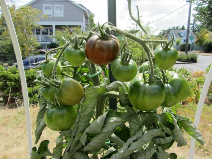 Контролируя выращивание, необходимо периодически поливать и подкармливать почву