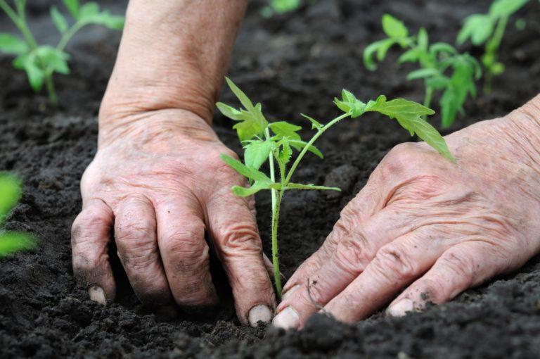 Почва — главный источник питания помидоров
