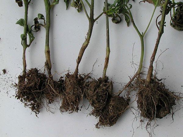 Тонкий стебель сигнализирует, что рассаду помидоров поразило грибковое заболевание под названием черная ножка