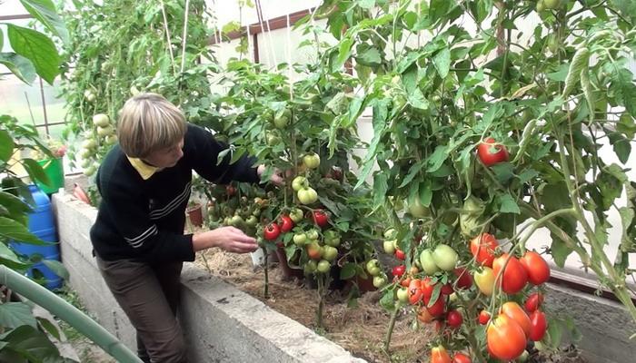 Для полноценной обработки томатов необходимо еще правильно уметь разводить Фитоспорин. Здесь все будет зависеть от конкретной формы данного средства