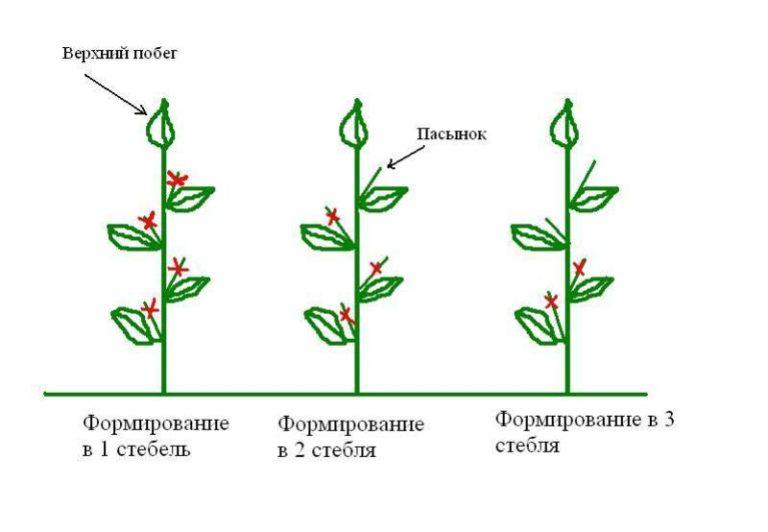 Обязательная обрезка требуется листьям, которые касаются земли или других растений