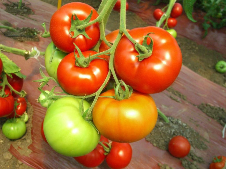 Отзывы опытных людей свидетельствуют о рекордных урожаях этого томата именно в теплицах, а не на открытом грунте
