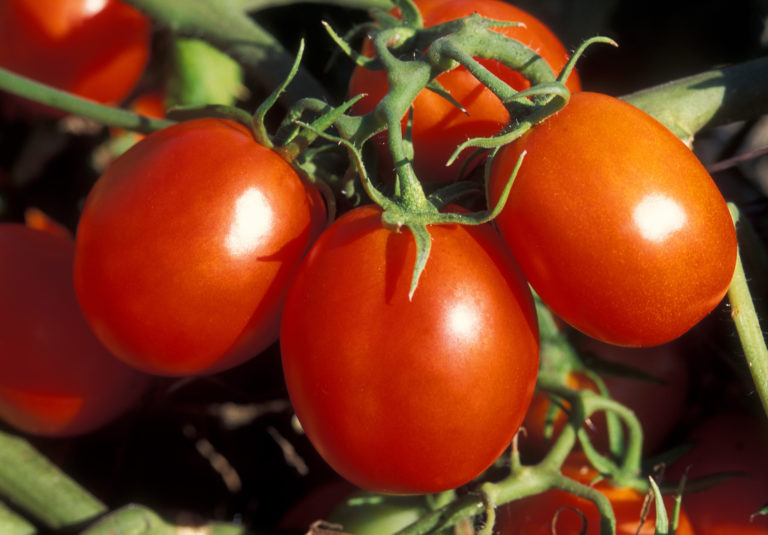 Независимо от свойств почвы, помидоры нуждаются в постоянной подкормке