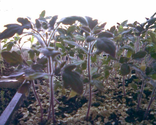 Появление фиолетового цвета на стебле говорит о том, что тепла стало меньше