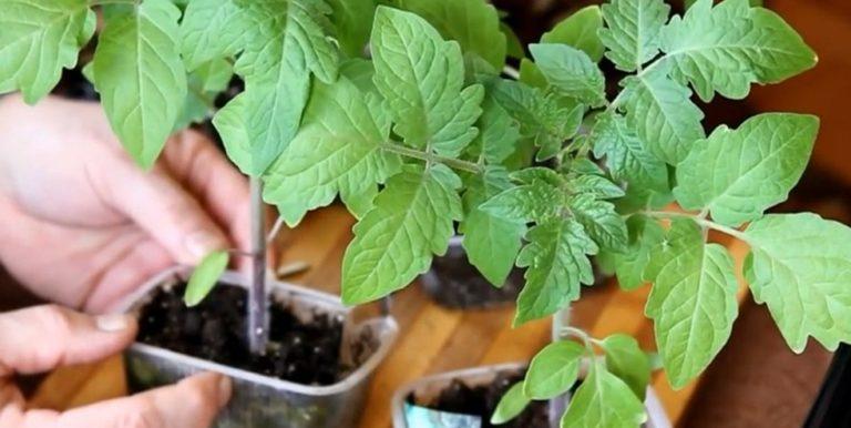 Перед тем как высаживать, растения нужно подготовить, «закалить»
