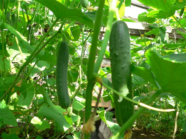 Если правильно выбрать хорошие семена огурца, выращивание овощей в теплице будет более эффективным