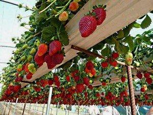 Выращивание клубники по голландской технологии даст возможность каждому насладиться солнечными плодами в любое время года