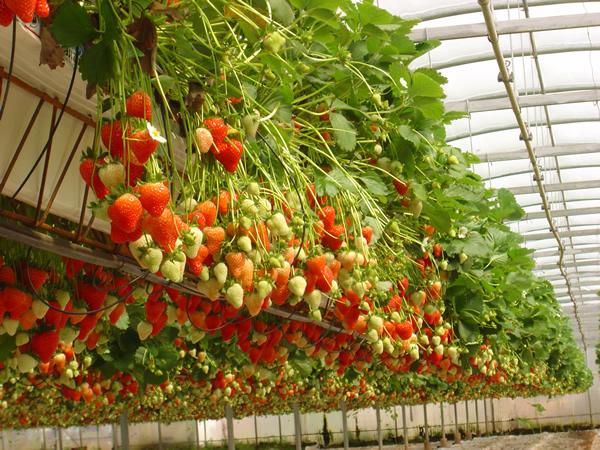Пытаться использовать метод выращивания клубники по-голландски сразу в больших масштабах, пожалуй, не стоит