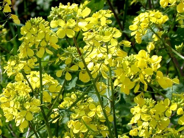 Белую горчицу можно высаживать ранней весной в грунт