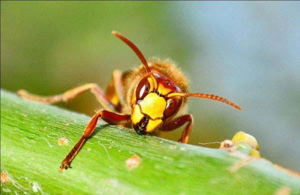 Пчёлы в отличие от шершней и ос не являются агрессорами и не нападают без причин
