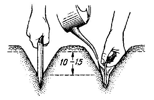 Лук-севок высаживается на глубину 10-15 см