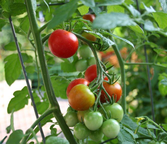 Выращивание томатов яблонька россии 96