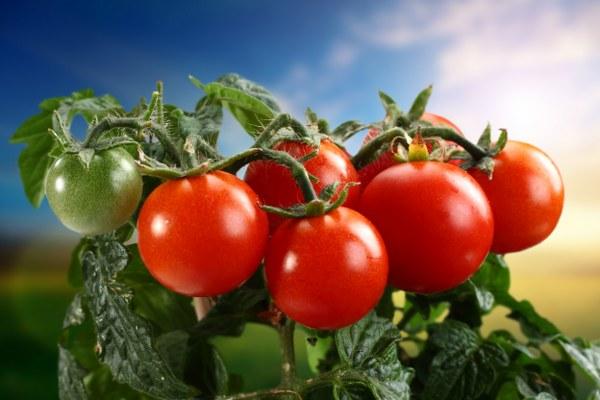 Как поливать помидоры