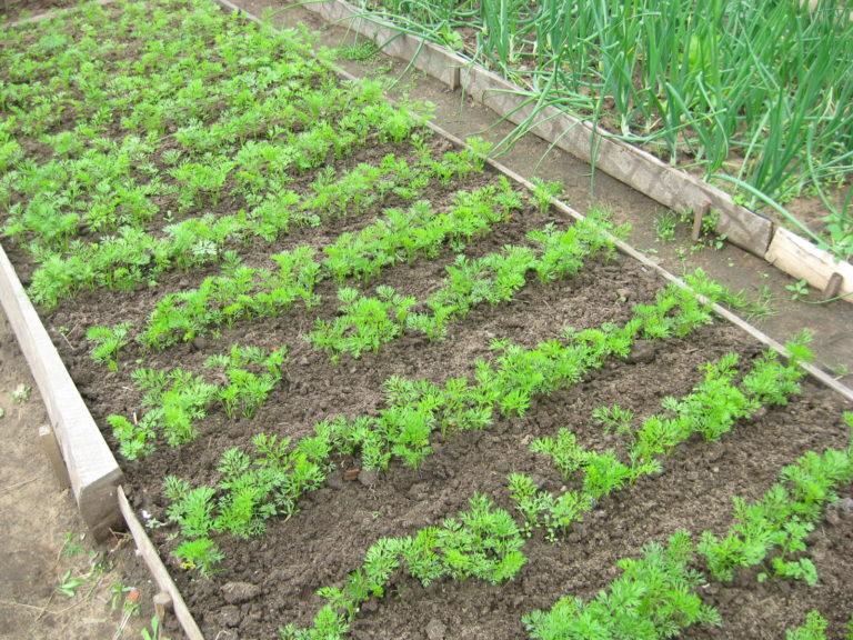 Выращивание морковки в теплице 45