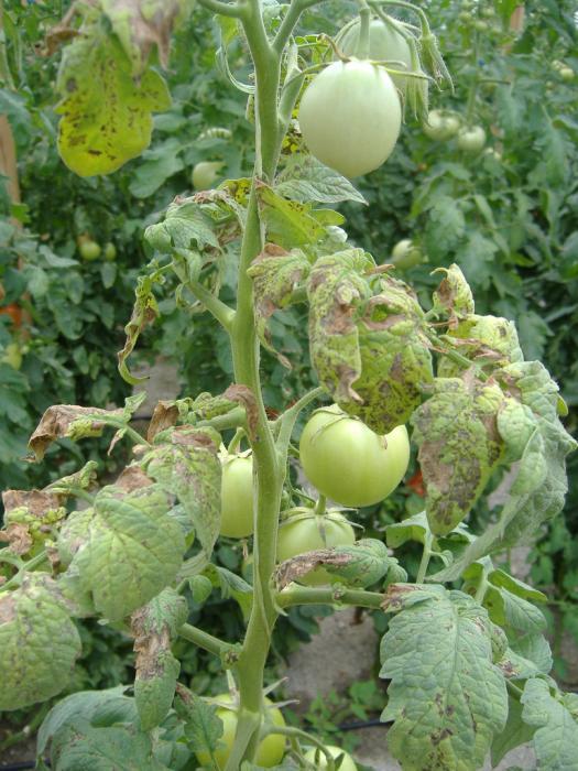 При несоблюдении правил ухода за посадками сложно уберечь грядки от фузариозного увядания томатов