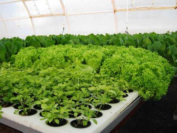Не стоит увлекаться разными сортами зелени: лучше выбрать неприхотливые лук, укроп, салат