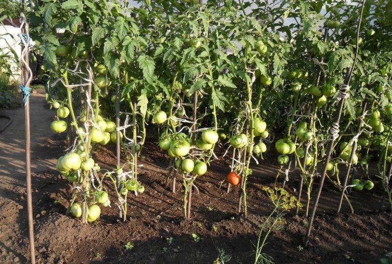 Формирование куста томата является важнейшим агротехническим приемом, обеспечивающим прекрасную урожайность