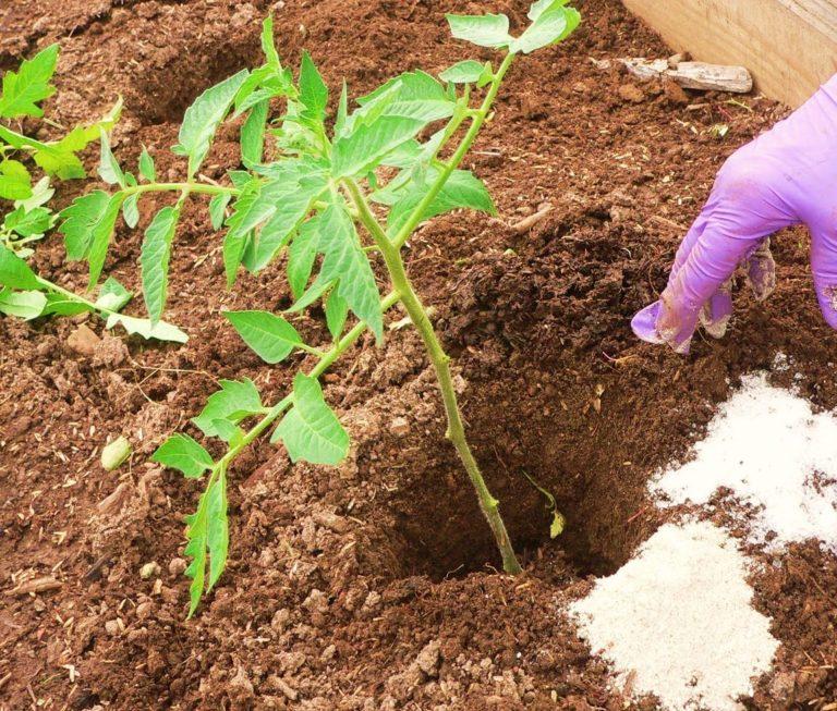 Для выращиваемых в закрытом грунте помидоров азотсодержащие удобрения необходимы
