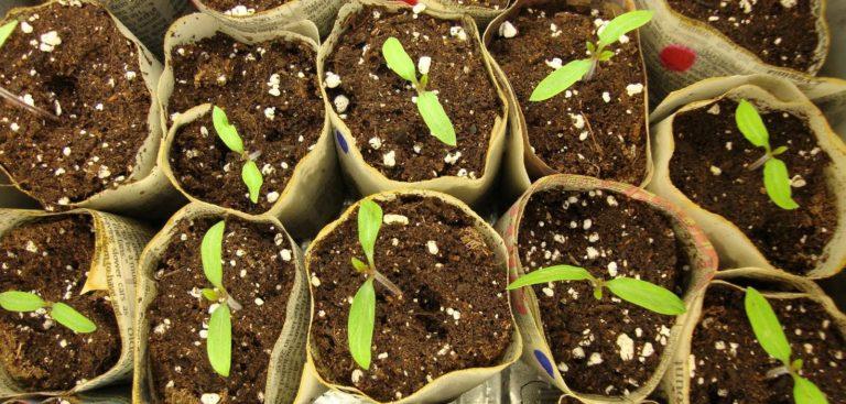 Для выращивания рассады помидоров нитрат кальция (так еще называют кальциевую селитру) в сочетании с фосфорными и азотными удобрениями обязательно должен быть в составе почвосмеси