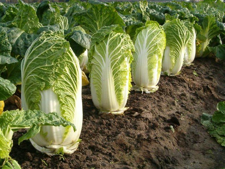Пекинская капуста напоминает салат и не только по вкусу
